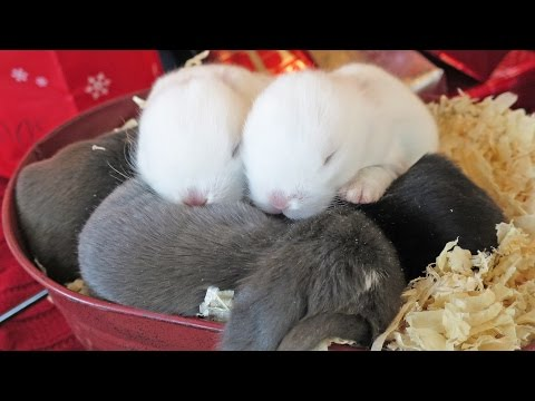 Cute Baby Bunny Christmas Surprise!
