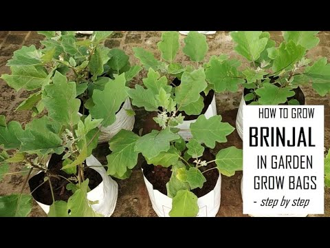 How to grow Brinjal from seeds in Terrace Gardening / Eggplants Farming at Home / Home Gardening