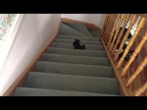 Ralph the Bombay Cat playing fetch with a sock