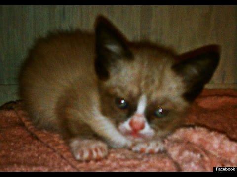 Grumpy Cat as a Kitten!