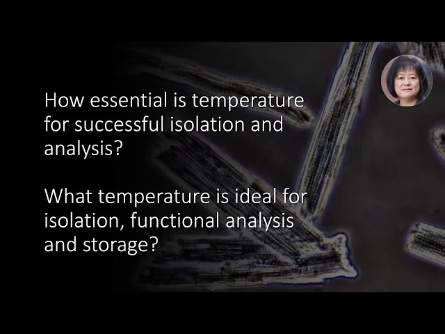 How important is temperature for successful cardiomyocyte isolation and analysis?