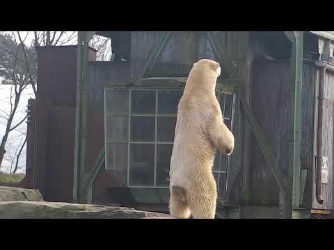 Eisbär Sprinter - Hulman Äffchen - Zoo Hannover