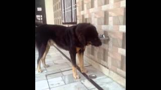 Gaddi Dog Tibetan Mastiff(1)