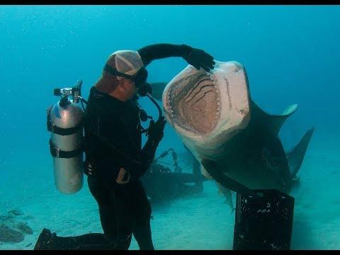 Tiger Shark Madness In The Bahamas