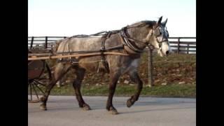 GORGEOUS DAPPLE GRAY PERCHERON QUARTER HORSE CROSSBRED, BROKE TO RIDE & DRIVE, GENTLE & QUIET