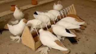 gołębie rasy krymek
