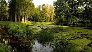 Download Звуки природы Рапсодия дикого пруда безудержное кваканье лягушек, мелодичное пение птиц Mp3 and Videos