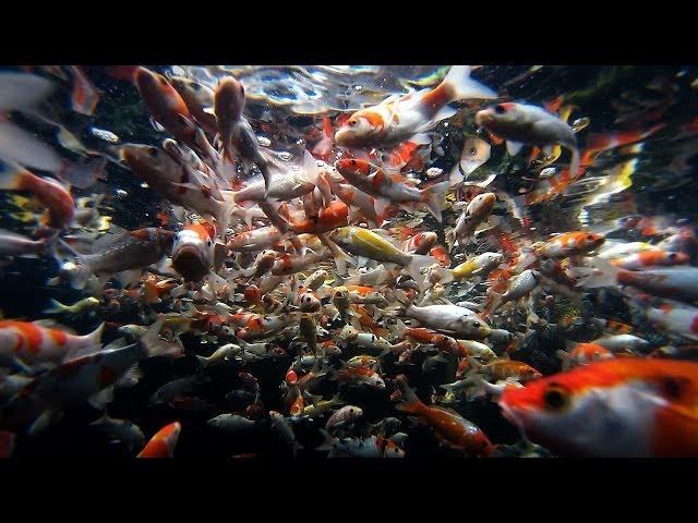 Fish Selection   Choosing Young Koi Fish for Your Pond - Part 3