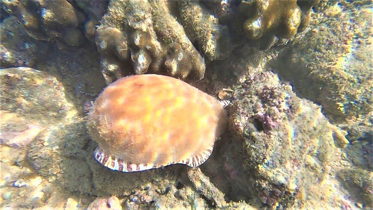 大退潮阿波獨自趕海,在海底找到金色大螺,往下走竟還有更大的 - YouTube