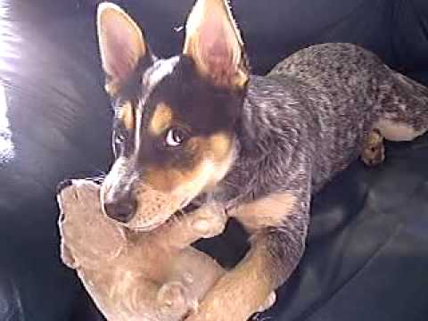 Playful Australian Cattle Dog 4 Months old playing with his toys.. MUST SEE, SOOO CUTE