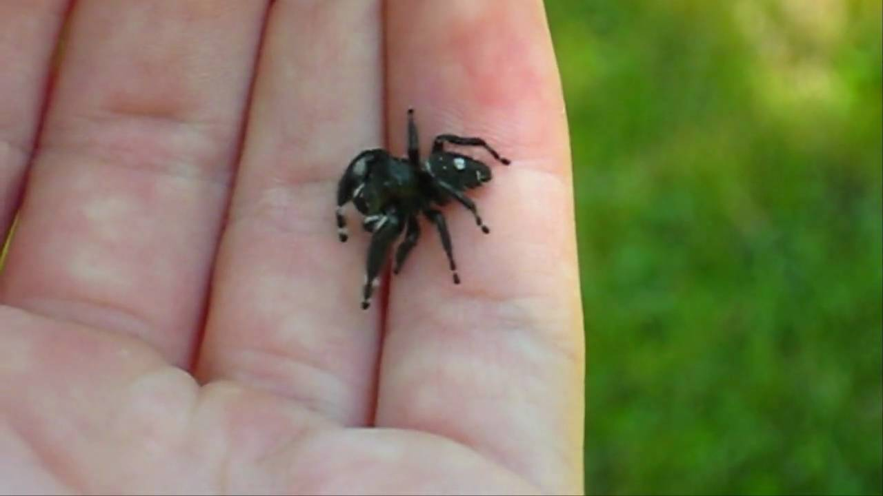 Adult Male Phidippus audax Jumping Spider - YouTube