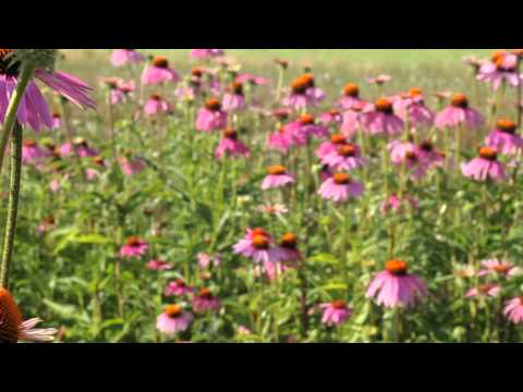 Organic echinacea: Home of butterflies