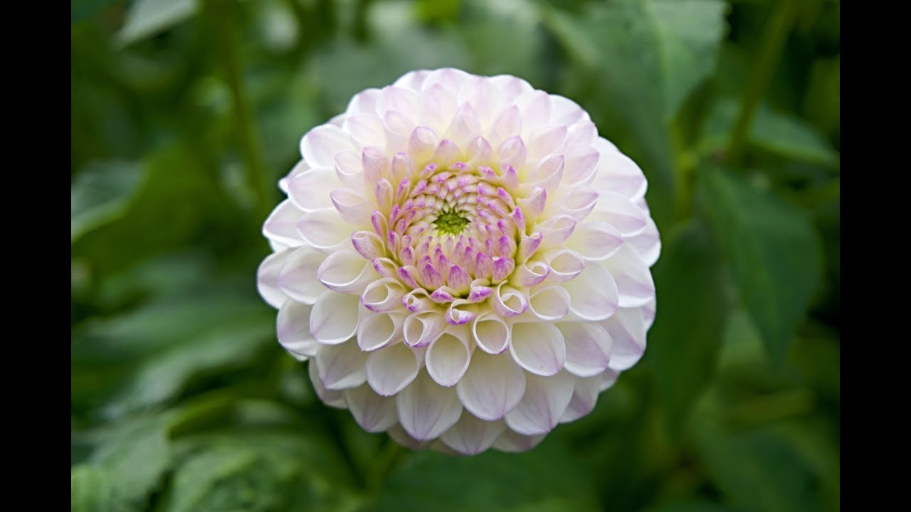 The Beauty Of Dahlia Flower For Your Garden Youtube