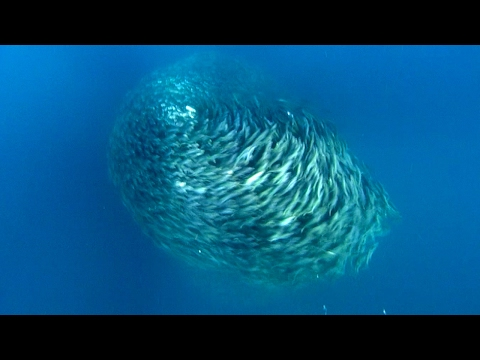 Predators Attack Fish Bait Ball | Blue Planet | BBC Earth