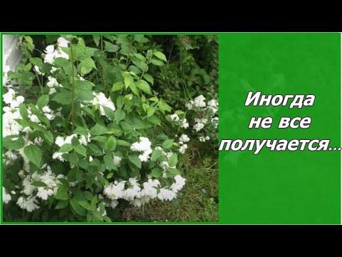 Вопрос: Как посадить жасмин конфедеративный?