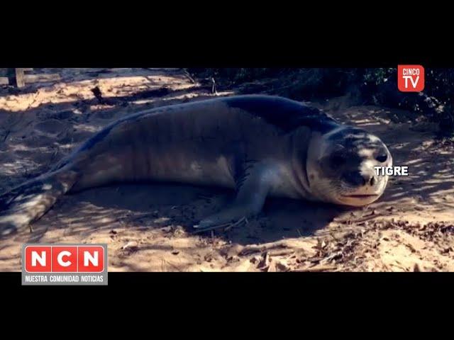 CINCO TV - Defensa Civil y el Centro de Operaciones Tigre rescataron un elefante marino