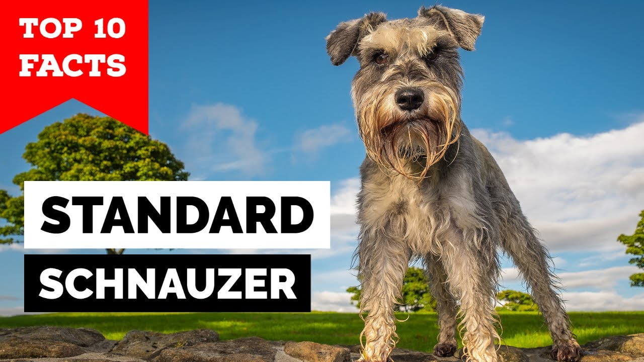 Download Standard Schnauzer - Top 10 Facts