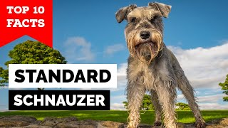 Standard Schnauzer  Top 10 Facts