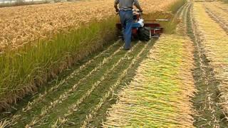 Rice Reaper/Harvester in Bangladesh ধান কাটার মেশিন