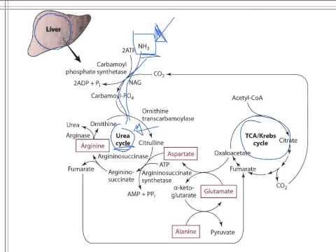 Protein 4 Protein Metabolism