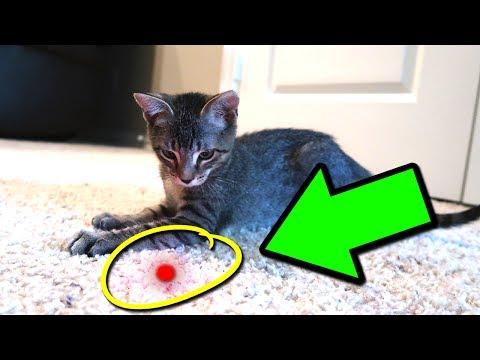 CAT VS LASER POINTER!