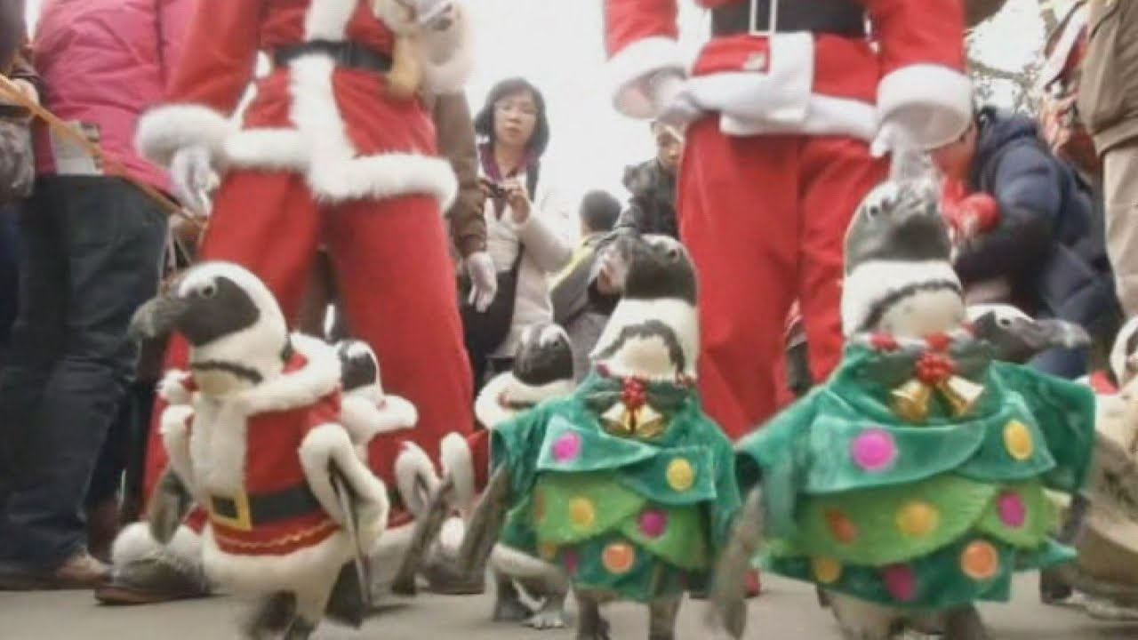 Cute: Penguins in Santa suits take a Christmas stroll - YouTube
