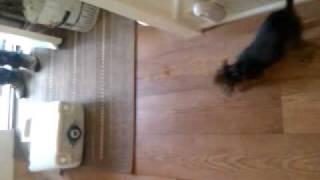 Border Terrier Puppy Vs Toilet Tank