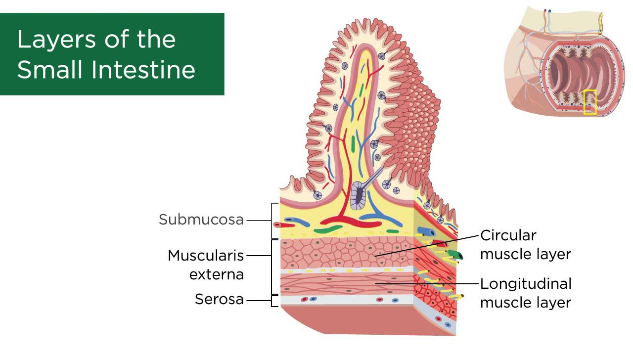 hight resolution of intestine cell diagram