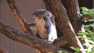 東山動物園のコアラを撮影していたところ、まさかのジャンプをしてくれ...