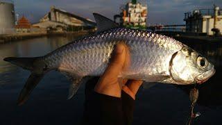 Tips cara mengetahui keberadaan ikan tarpon jadi mudah dipancing