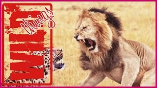 Wild Lion Battle Zone With Cheetah [THE REAL FIGHTING]