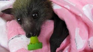 看澳洲「蝙蝠媽媽」如何細心呵護小蝙蝠《國家地理》雜誌
