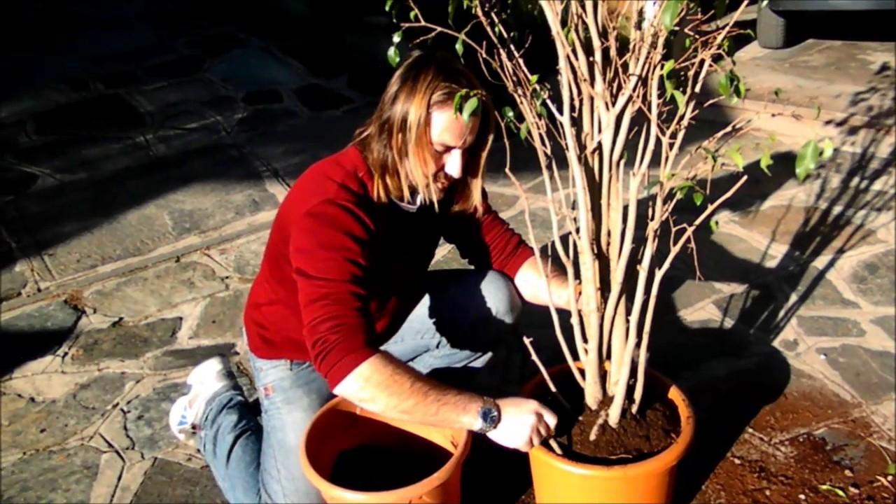 Potare Il Ficus Elastica rinvaso ficus benjamin