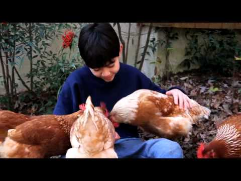 Thumbnail for Chickens As Pets