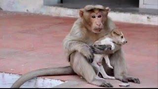 Chuyện lạ 4 phương: Khỉ mẹ chăm sóc chó con như con đẻ của mình