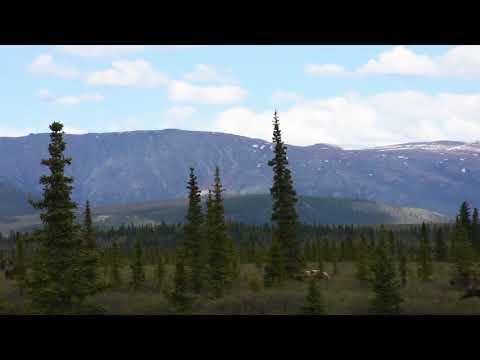 Denali Bear Hunts Moose
