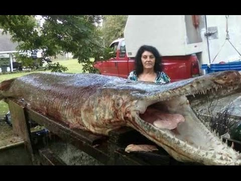 World's Biggest Gar Alligator