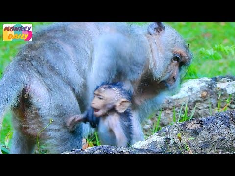 Tima warn Timo far coz baby get full milk from her | Timo be happy with all tiny | Monkey Daily 1949