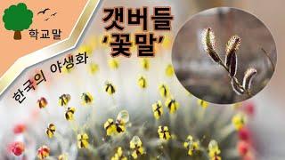 [한국의야생화]갯버들 꽃말