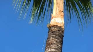 Birdwatching - Dominican Republic Hispaniolan woodpecker (Melanerpes striatus)