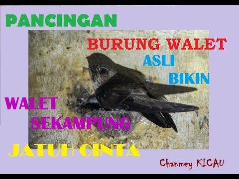 SUARA ASLI BURUNG WALET KALIMANTAN DIJAMIN WALET PADA KUMPUL | SONG OF SWIFT BIRDS 2018