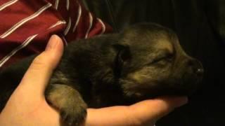 German Shepherd Puppy's First Bark 002.mts