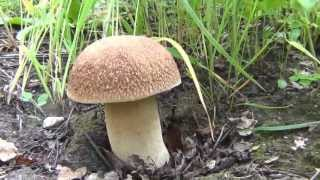 Белый гриб на 1.5 килограмма / Массовый сбор белых грибов(, 2013-07-12T18:21:50.000Z)