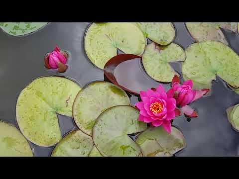 Наш пруд с мелкими, карликовыми сортами нимфей, июль 19 г. Погода отвратительная, но нимфеи цветут!