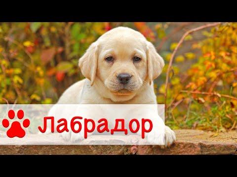 Лабрадор ретривер | Все о породе собак Лабрадор