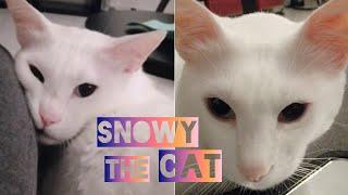 #Cat #cute SNOWY THE CAT