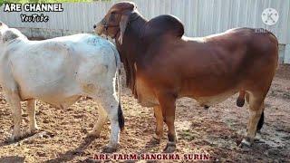 ชมพ่อพันธุ์คุมฝูงวัวบราห์มันเลือดร้อย MR.ARE WHISKEY TF 363  หนุ่มน้อย ทายาท MR.VL ROJO WHISKEY 1/48