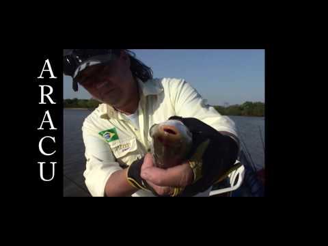 Aracu, você conhece o peixe de cabeça gorda?