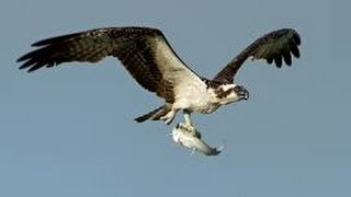 Коршун. Съедает летучую мышь на лету(, 2014-06-24T13:26:44.000Z)