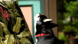Chihuahua-Lilly Singing to Church Bells